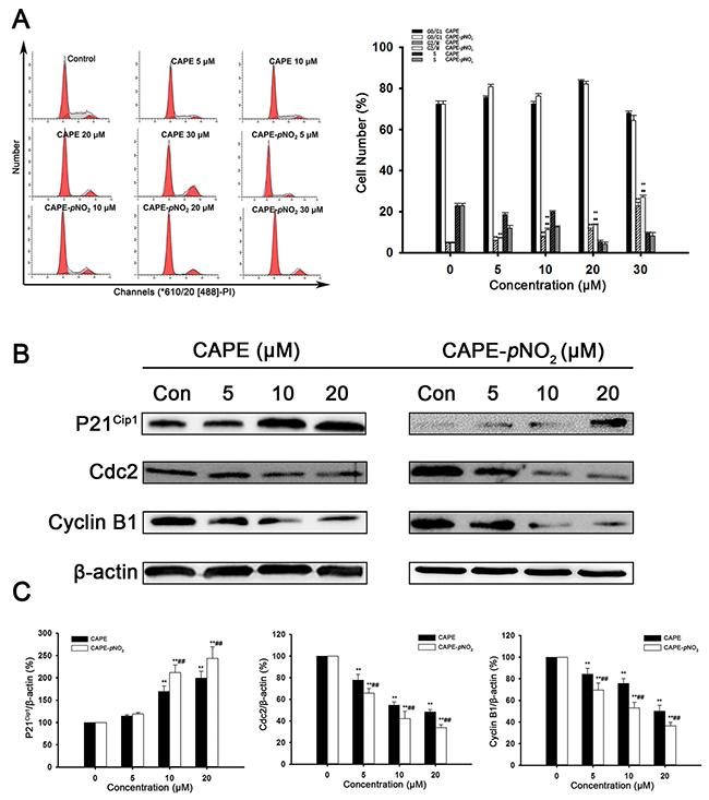 CAPE and CAPE-pNO2 caused the retardation of xenografts in nude mice.