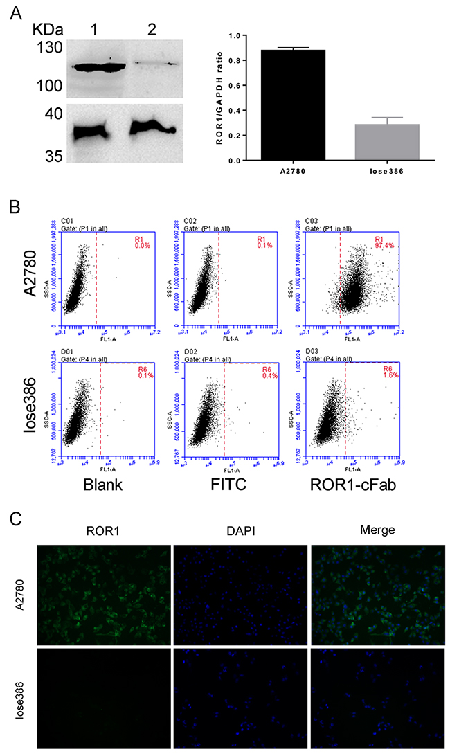 Assessment of the ROR1-cFab specificity in ovarian cancer cells.