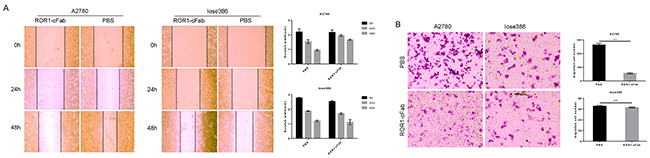 Antitumor activity of ROR1-cFab in ovarian cancer cells.