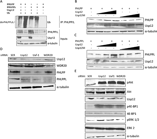 Usp12 deubiquitinates and stabilises PHLPP and PHLPPL and as a result controls the levels of pAkt.