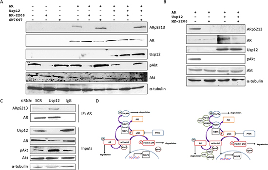 Usp12 controls the levels of AR Serine 213 phosphorylation by Akt.