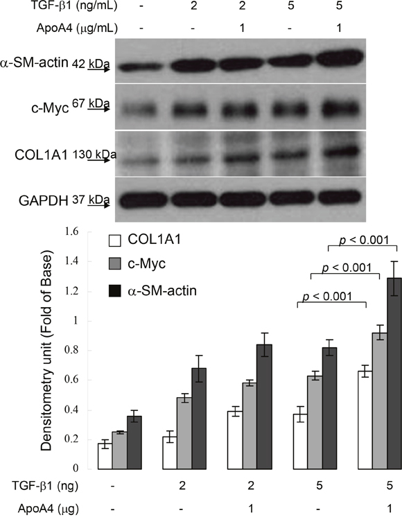 Validation of α-SMA, c-Myc and COL1A1 expression in HSC-T6 cells exposed to TGF-b1 with or without ApoA4 by Western blotting.