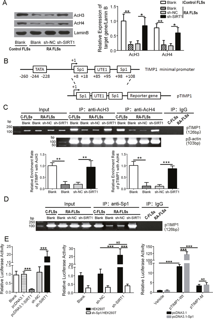 SIRT1 promotes polymerization of the TIMP1 gene and deacetylated histones and obstructs transcription factor Sp1 from binding to the TIMP1 promoter.