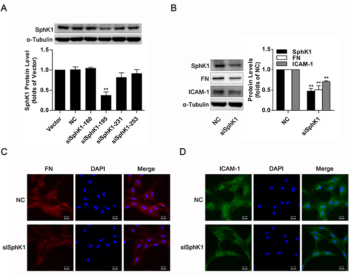 Knockdown of SphK1 decreased expressions of FN and ICAM-1 in normal glucose- cultured GMCs.