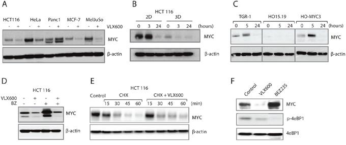 VLX600 decreases MYC protein expression.