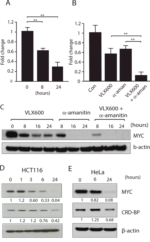 Reduced MYC expression is associated with decreased MYC mRNA stability.