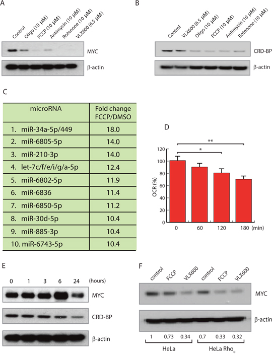 Mitochondrial inhibitors reduce MYC expression.