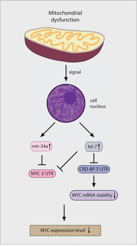 Model for how mitochondrial retrograde signaling decreases MYC expression.