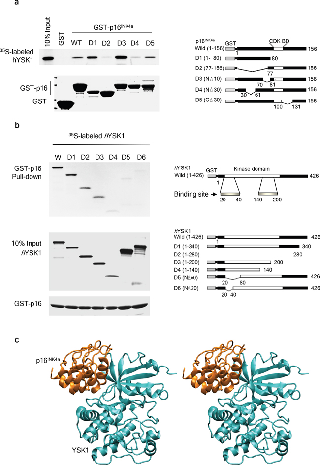 Identification of the binding domains of hYSK1 and p16INK4a.