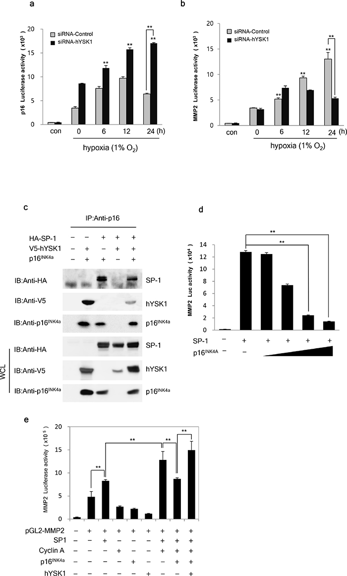 hYSK1 enhances the transcriptional activity of SP-1 transcription factor in the MMP-2 promoter through interfering p16INK4a.