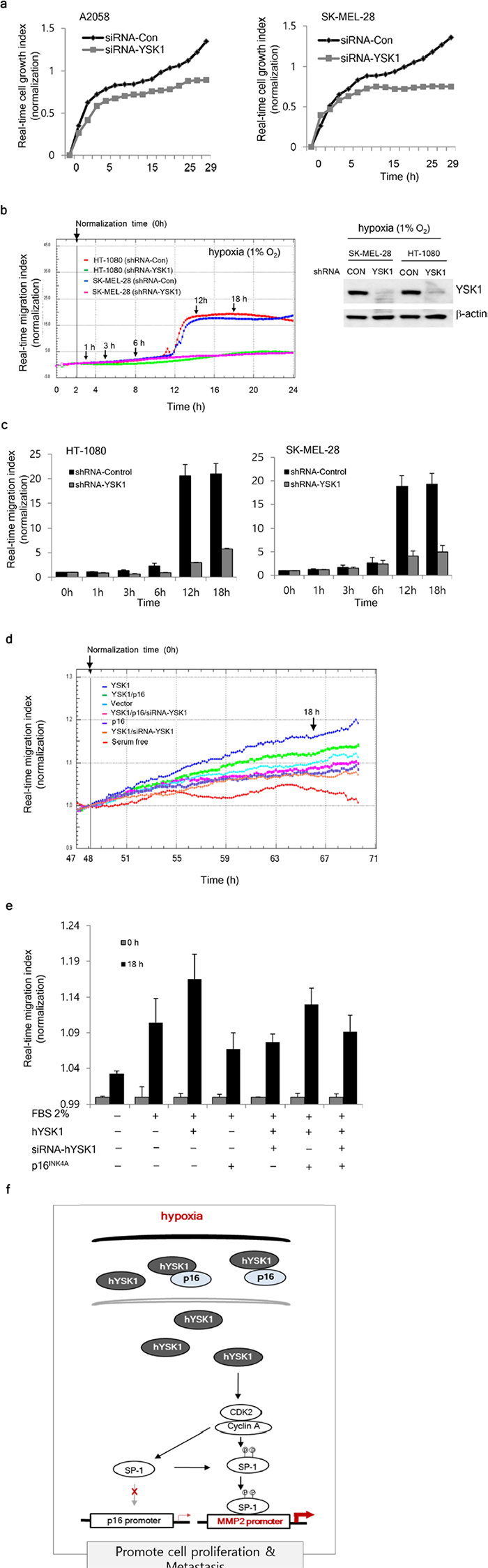 Physiologic effect of the interaction of hYSK1 and p16INK4a in cancer cells.