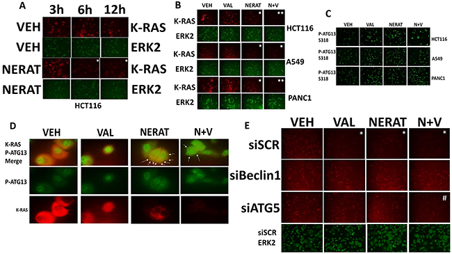 Neratinib down-regulates the expression of K-RAS in tumor cells expressing mutated active K-RAS.