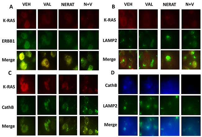 Neratinib promotes the co-localization of K-RAS with LAMP2 and cathepsin B, and the disassociation of K-RAS and ERBB1.
