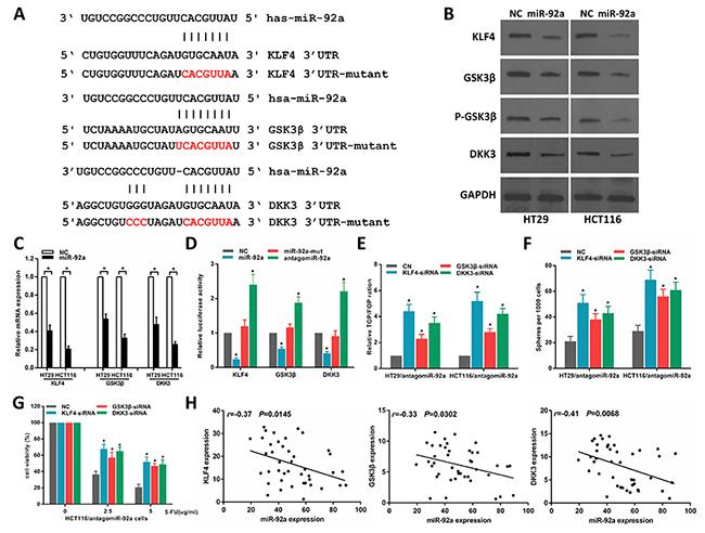 MiR-92a directly targets multiple negative regulators of wnt/β-catenin pathway.