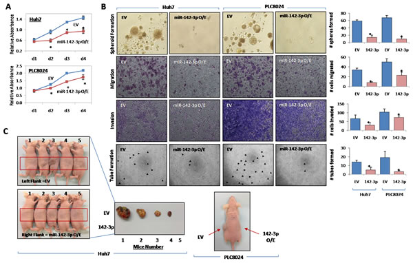 miR-142-3p regulates cancer stem cell-like properties in HCC.