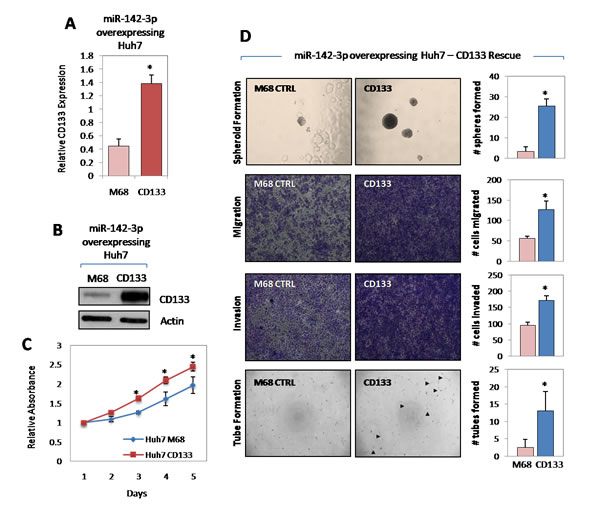miR-142-3p regulates cancer stem cell-like properties in HCC via the direct targeting of CD133.