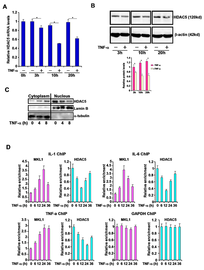 TNF-α represses HDAC5 expression and reduces the nuclear level of HDAC5 in macrophages.