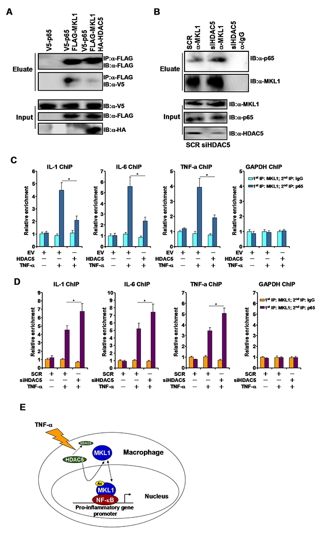 HDAC5 disrupts the interaction between MKL1 and p65.
