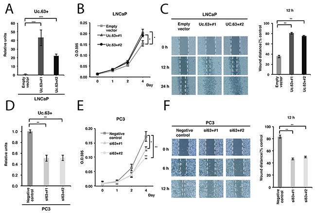 Uc.63+ promotes cell proliferation and migration in prostate cancer (PC) cells.