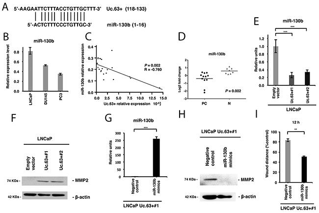Uc.63+ increases MMP2 through regulation of miR-130b.