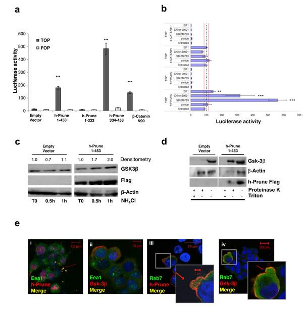 H-Prune expression enhances Wnt pathway activation.