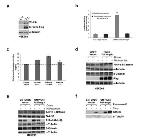 H-Prune–conditioned medium induces Wnt signalling activation.