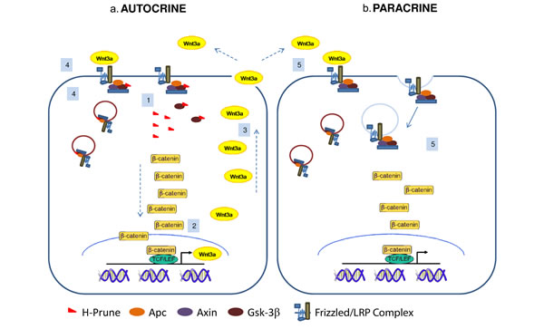 Proposed model of h-Prune action in cancer cells.