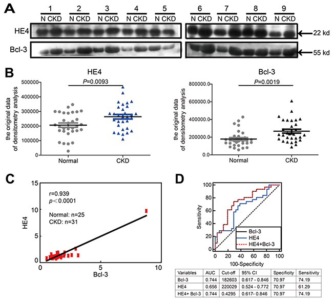 Bcl-3 protein levels are significantly correlated with HE4 protein levels in the sera of healthy controls and CKD patients.