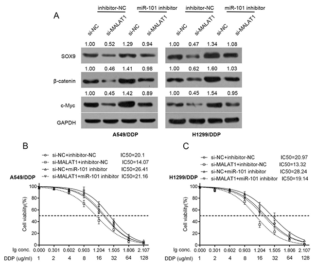 Wnt signaling was involved in the acquisition of the chemo-resistance of lung cancer cell.