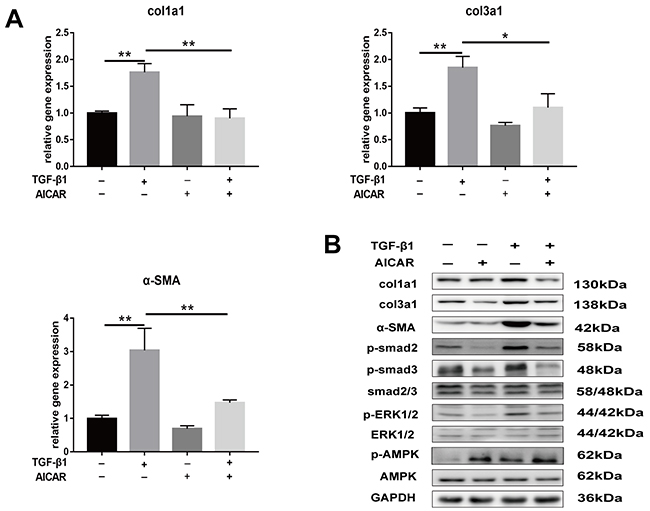 Activation of AMPK signaling pathway inhibited TGF-β1 induced fibrosis in fibroblasts.
