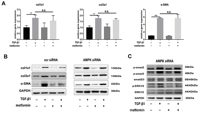 Small interfering-RNA (siRNA) targeting AMPK blocked inhibitory effect of metformin on decreasing expression of fibrotic genes and TGF signaling pathway.