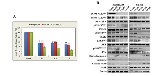 ASP3026 reduces the tyrosine kinase activity of NPM-ALK, downregulates the phosphorylation of NPM-ALK and target proteins, and induces biochemical effects consistent with apoptosis.