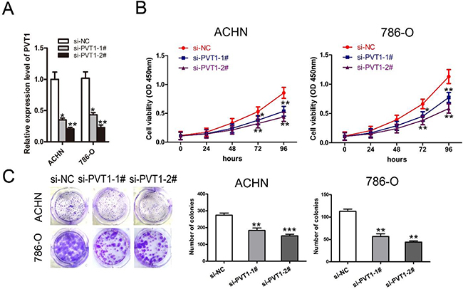Knockdown of PVT1 inhibited renal cancer cell proliferation and colony formation in vitro.