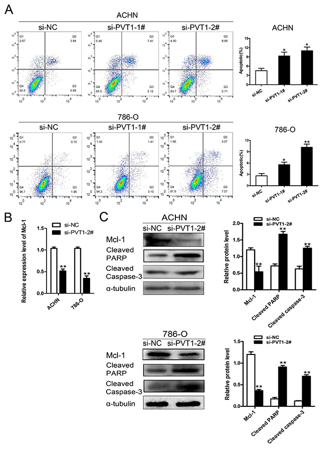 Knockdown of PVT1 promoted renal cancer cell apoptosis by down-regulating Mcl-1.