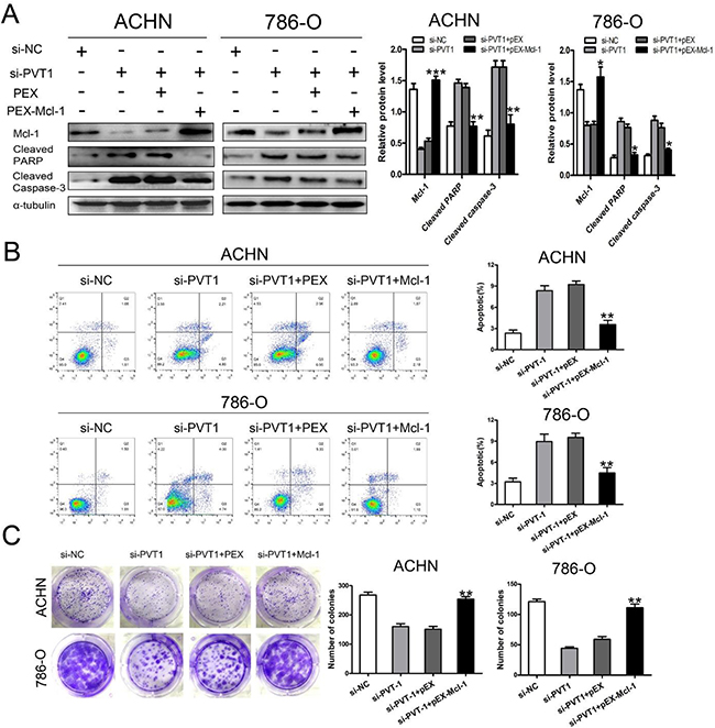 Enhanced apoptosis from silencing PVT1 were rescued by overexpressing Mcl-1 in renal cancer cells.