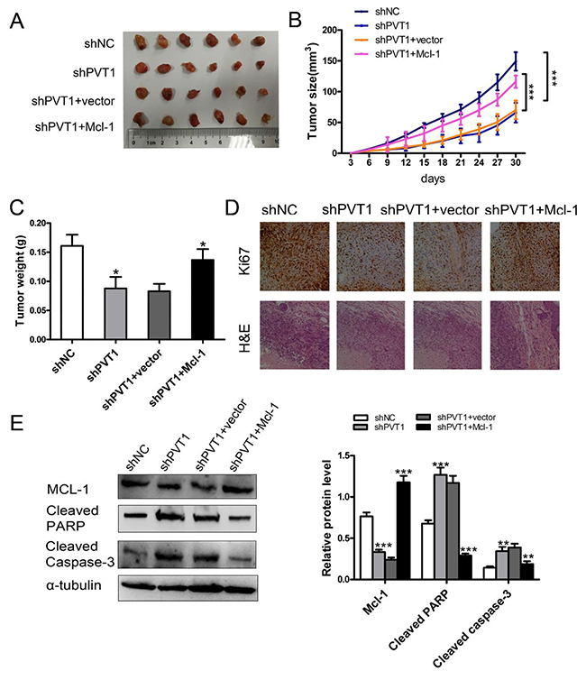 PVT1 inhibits renal cancer cell growth and apoptosis by Mcl-1 in vivo.