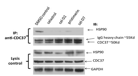 Fig. 1: Celastrol and its derivatives disrupt HSP90/CDC37 interaction in HCC cells.