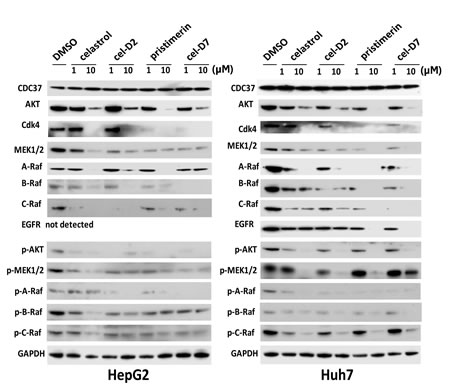 Fig. 3: Celastrol and its derivatives induced degradation and inhibited phosphorylation of HSP90/CDC37 client proteins in HCC cell lines.