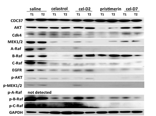 Fig. 6: Celastrol and its derivatives induced degradation and inhibited phosphorylation of HSP90/CDC37 client proteins in orthotopic HCC patient-derived xenografts.