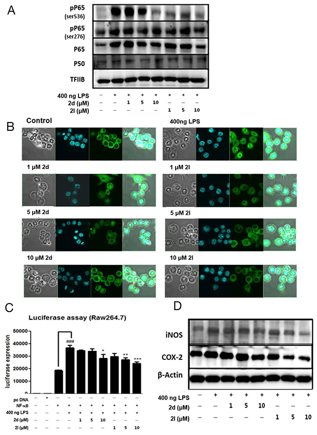 Inhibition of nuclear factor kappa B (NF-κB) activity by compounds 2d and 2l.
