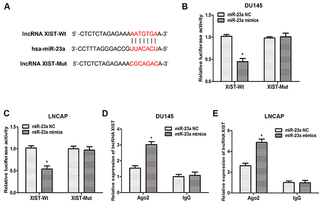 XIST inhibits miR-23a expression by directly targeting it.