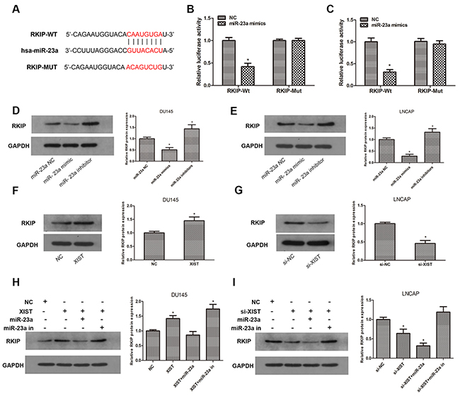RKIP is a target gene of miR-23a and is regulated by XIST.