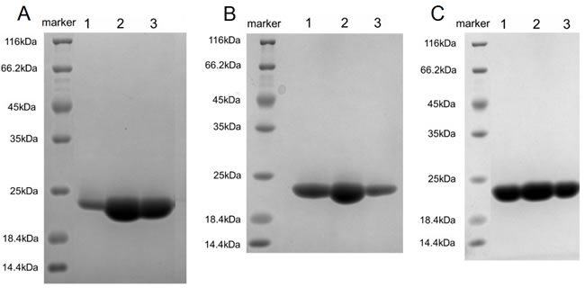 Purification of refolded hPD-L1, L3B3-