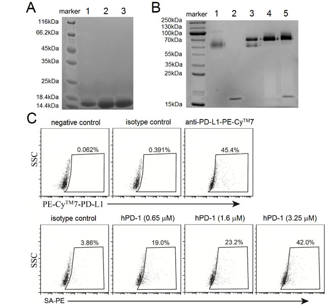Purification of refolded and biotinylated hPD-1 and assays to confirm binding native hPD-L1.