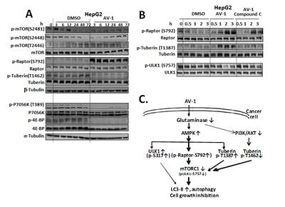AV-1 inhibits mTORC1 through AMPK activation.