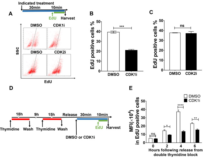 CDK1 activity is required to promote nascent DNA synthesis.
