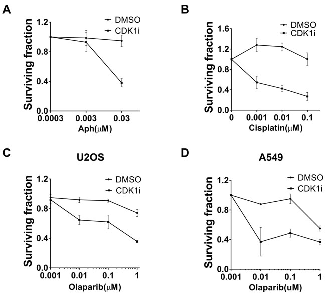 CDK1 inhibition resulted in increased sensitivity to multiple genotoxic agents