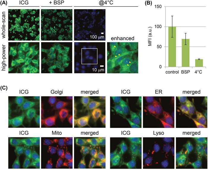 Mechanism of ICG uptake by RCN-9 cells.