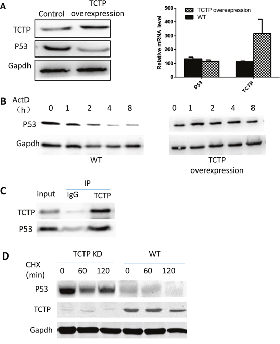 TCTP can regulate the stability of P53 in lung cancer.