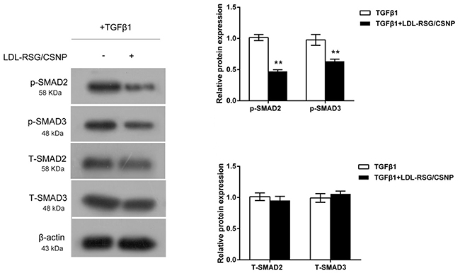 LDL-RSG/CSNP attenuated activation of TGF-β1/SMAD pathway.
